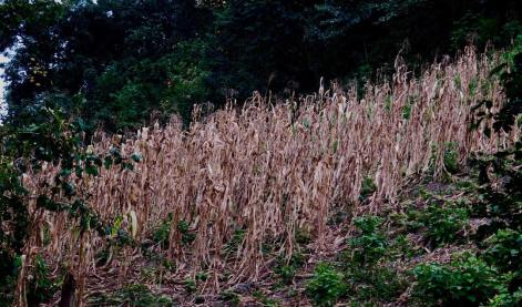 Many corn fields planted in December 2015 failed because of drought. Families are counting on the traditional May-June rains for the September harvest.