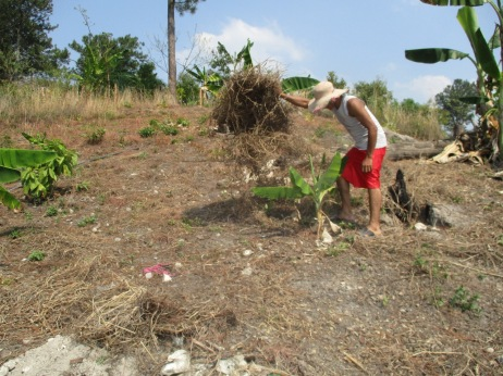 A farmer inspects his banana plants, yuca, and squash to assess the soil moisture beneath the mulch.